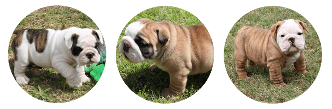 Champion English Bulldog Puppies