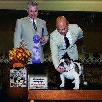 Award Winning Champion Bulldog Stud