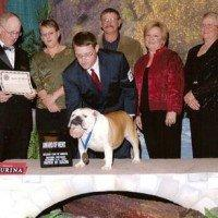 Champion Bulldog Stud