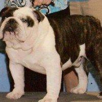Jimi - champion English Bulldog