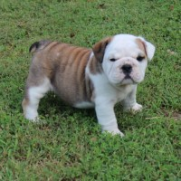 Tan and white English Bulldog puppy