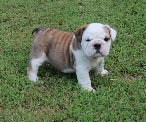 Past Champion English Bulldog Puppies in St. Louis, MO ...