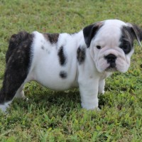 Black and White Champion English Bulldog Puppy