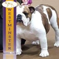 Fannie English Bulldog at Westminster