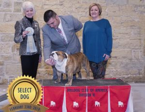 Award winning English Bulldog