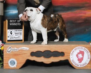 Crab Orchard Kennel Club - winning English Bulldog